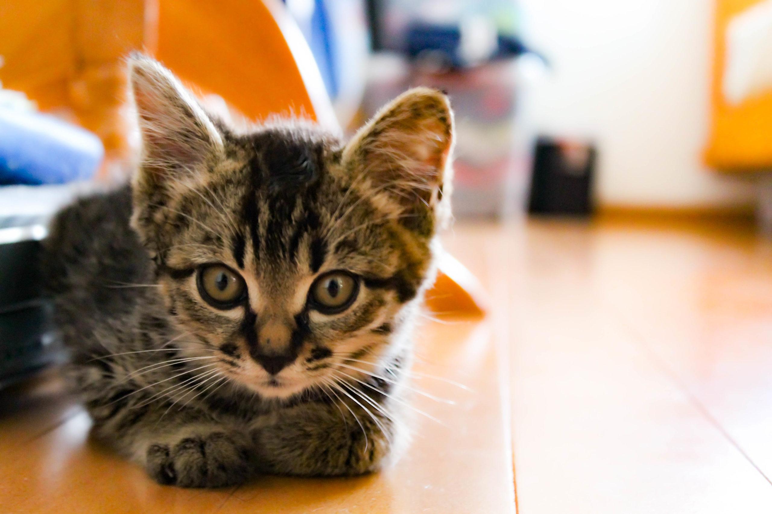 トラ模様の子猫の写真