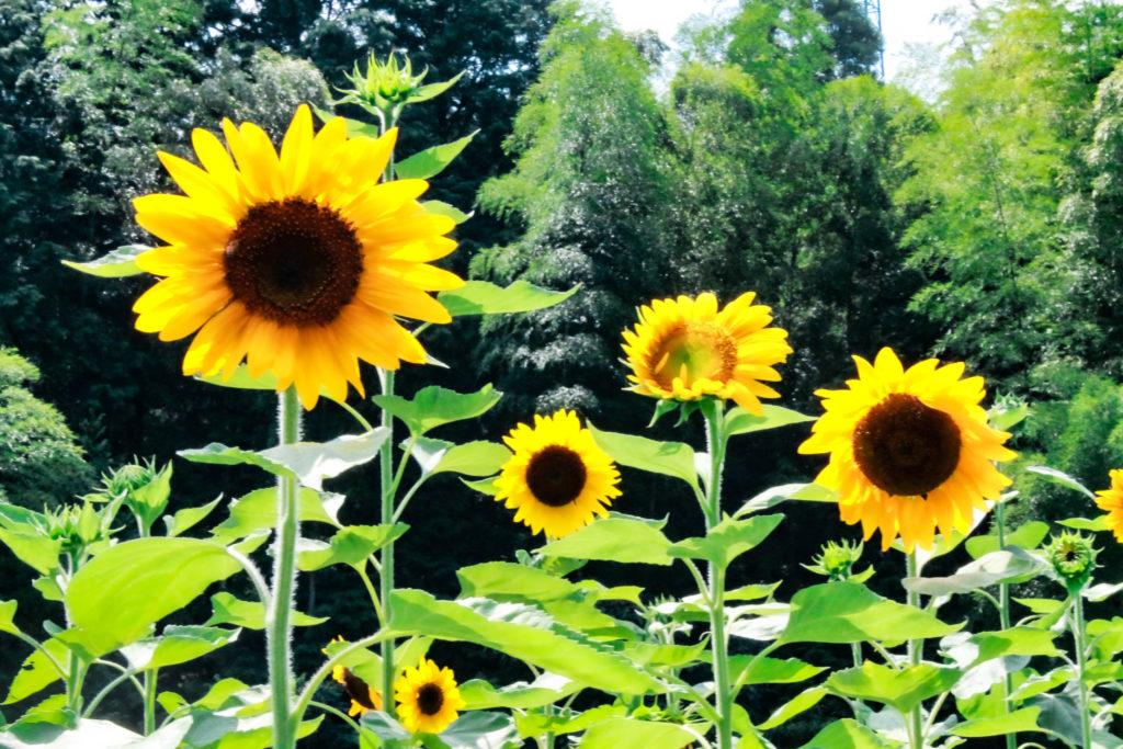 晴れた日の向日葵の写真