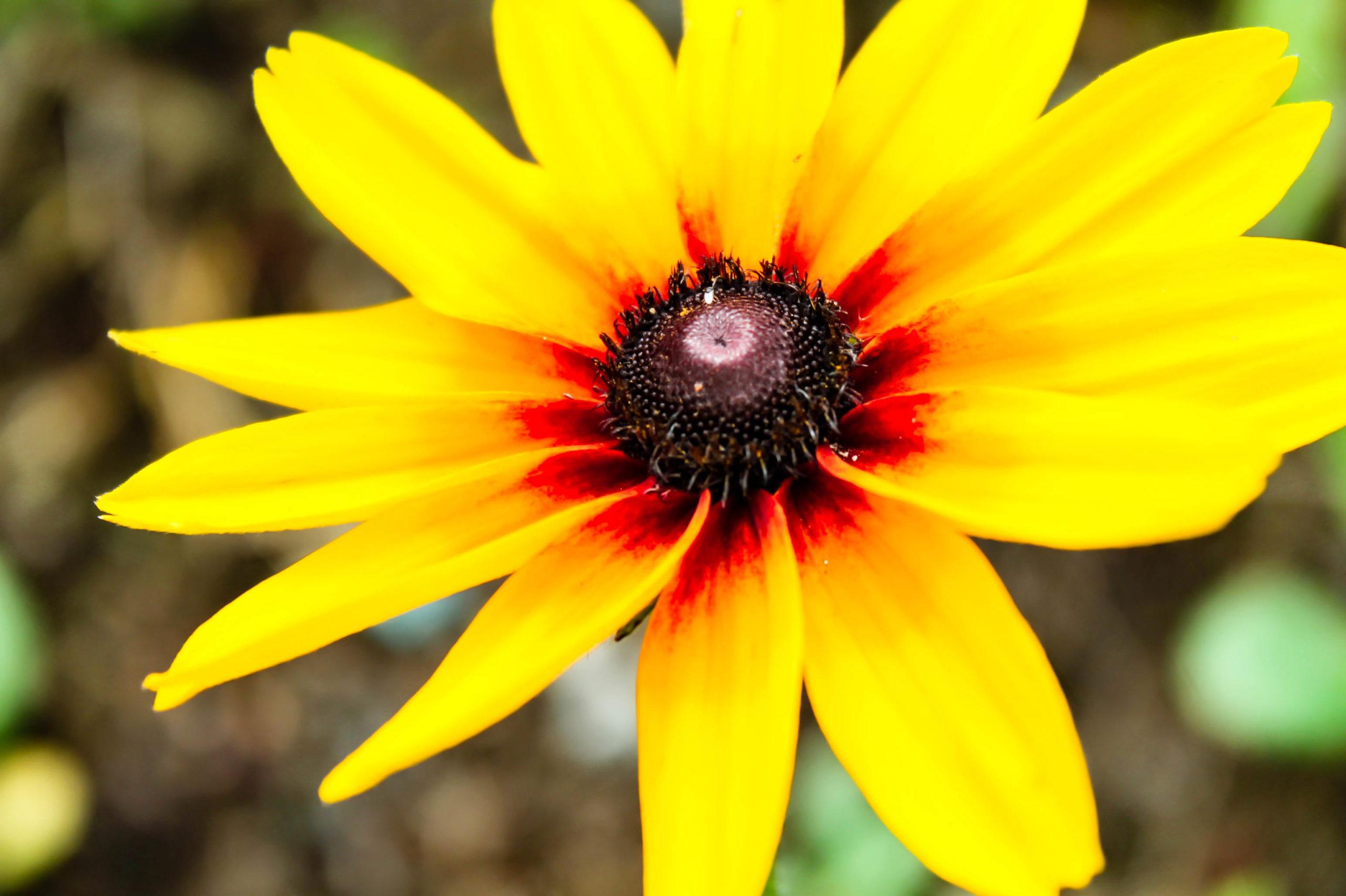 ルドベキアの花びらの写真